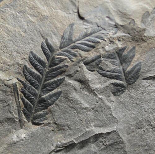Beautiful, perfectly 3D preserved Carboniferous fern - Mariopteris nervosa
