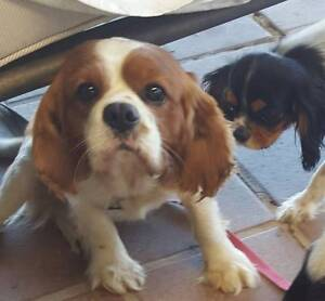 Cavalier king charles spaniel Chambers Flat Logan Area Preview