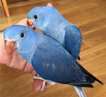 Hand-Raised Indian Ringneck Parrots