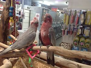Handraised baby galahs Alexandria Inner Sydney Preview
