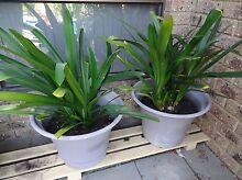 2 large pots x Mature Orange Clivia plants Shelley Canning Area Preview