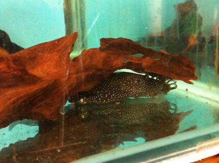 Peppermint bristlenose pairs Maitland Maitland Area Preview