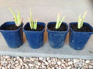 Aloe Vera Plants x4 $2.50 each Moonta Bay Copper Coast Preview