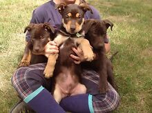 Kelpie Pups (reduced to $250, 1 MALE left) Stonehenge Toowoomba Surrounds Preview