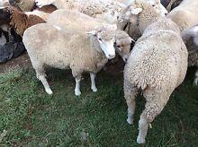 White Dorper X Ewes Albany Creek Brisbane North East Preview