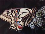 butterfliesmayfly