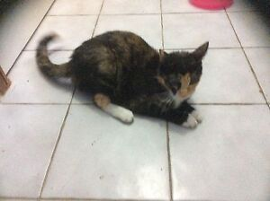Free cat Hoxton Park Liverpool Area Preview