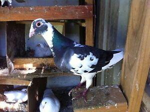 Pigeon Bankstown Bankstown Area Preview