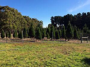 Mylor Christmas Tree Farm Mylor Adelaide Hills Preview
