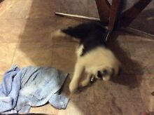 Pure breed border collie's puppy's Gerogery Greater Hume Area Preview