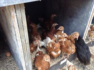 Chickens Isa Brown Hens Dapto Wollongong Area Preview