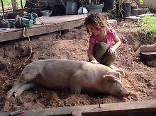 1x Hampshire sow and 1x landrace/Hampshire gilt Port Macquarie City Preview
