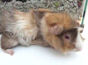 Male Guinea Pig- Angus about 6mths