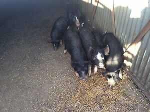 Pigs Serpentine Serpentine Area Preview