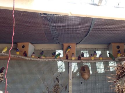 Finches and Canaries for sale! From $50 a pair!