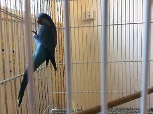 Blue Quaker male Petrie Pine Rivers Area Preview