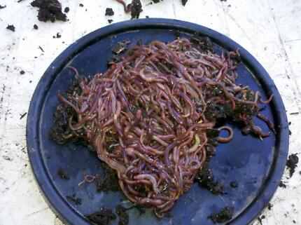 WORMS for worm farms and fishing bait, composting Forest Lake Brisbane South West Preview