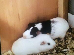 2 female guinea pigs with accesories 80$ obo or trades