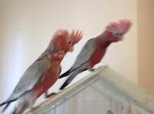 Hand raised Pink and Grey Galahs DNA sexed High Wycombe Kalamunda Area Preview