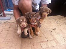 Puppies am staffy for sale Seville Grove Armadale Area Preview