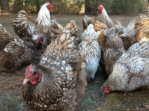 6+2 Chocolate Silver Laced Orpington Hatching Eggs Large Fowl FedEx 2 Day