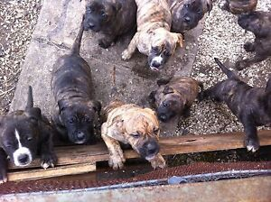 American Staffy pups hobart Moonah Glenorchy Area Preview