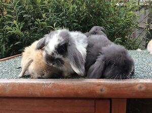 Pure breed mini lop bunny Thirlmere Wollondilly Area Preview