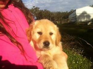 Golden Retriever/ Lab cross Puppies $500 Mount Barker Plantagenet Area Preview