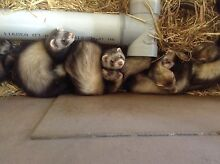 Ferrets kits born 27/12/15 friendly and fun! Cloverdale Belmont Area Preview