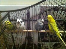 Budgies - Cage Bidwill Blacktown Area Preview