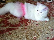 WANTED- please.im heartbroken, my Persian cat passed away last Double Bay Eastern Suburbs Preview