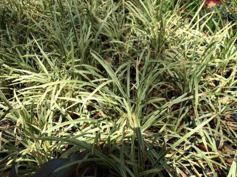 Liriope Varigated Stripey White Grass Plants Gumtree Australia