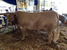 Square Meater Bull Maitland Maitland Area Preview