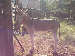 Riding donkey for sale Caboolture Caboolture Area Preview