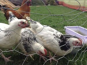 """""""""""""""Sold""""""""""""6 young Sussex Chickens for sale Dapto Wollongong Area Preview"""