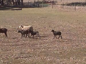 Damara lambs Manoora Clare Area Preview