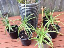 Aloe topaz 175 ml - 5 litre pots  $8 each Meadow Springs Mandurah Area Preview