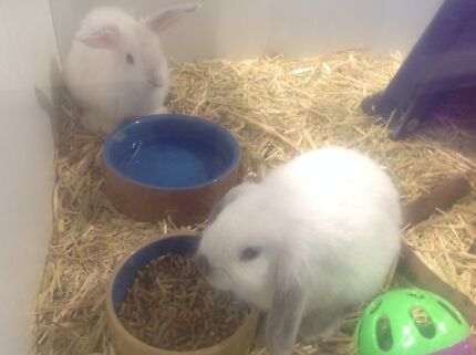 Wanted: Baby mini lop rabbit