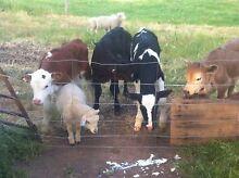 Freisan heifer calves Hamilton Southern Grampians Preview