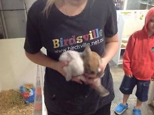 Baby mini lop rabbits Alexandria Inner Sydney Preview