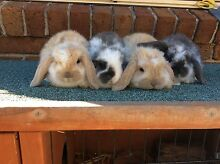 Mini lop bunny Thirlmere Wollondilly Area Preview