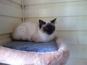 Ragdoll female 7months old  can be shipped interstate Ingleburn Campbelltown Area Preview