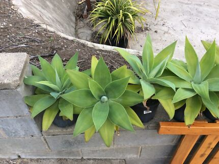 Agave in 200mm pot around 300 high x 400 round Carrara Gold Coast City Preview