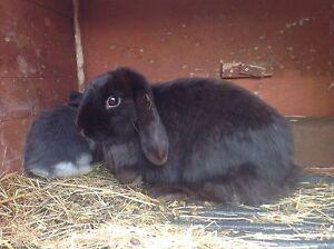Mini lop female rabbit Gisborne Macedon Ranges Preview
