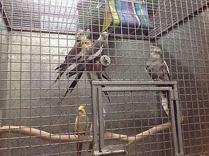 Cockatiels for sale Alexandria Inner Sydney Preview