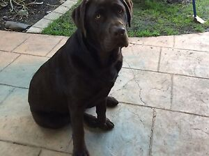 Wanted labrador puppy Craigieburn Hume Area Preview