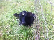 6 Month Old Jersey x Friesian Heifer - Future House Cow :) Kin Kin Noosa Area Preview