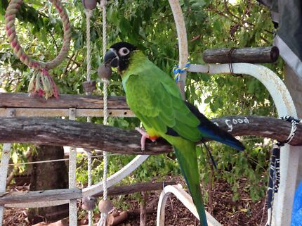 Nanday Conure  Ebbw Vale Ipswich City Preview