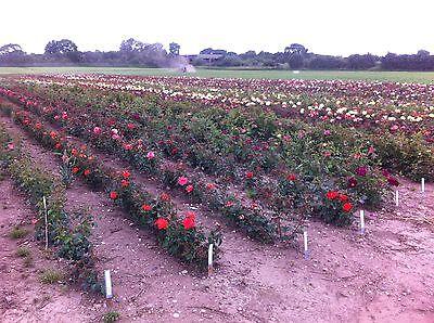 roseplantsdirect
