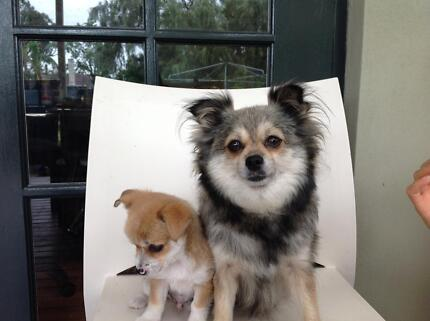 chihuahua puppy Gosnells Gosnells Area Preview